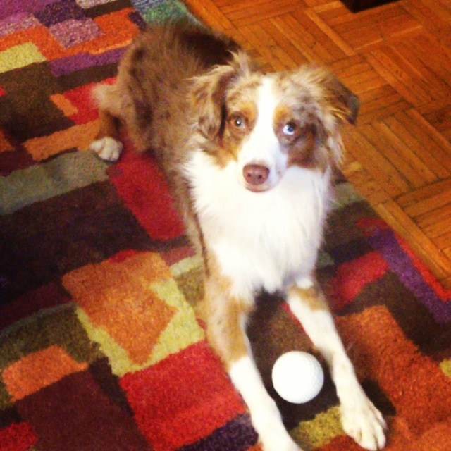 Teddy, Red Merle Toy Australian Shepherd | Latina On a Mission