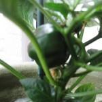 Sabroso Saturday: Authentic Sofrito Recipe Thumbnail