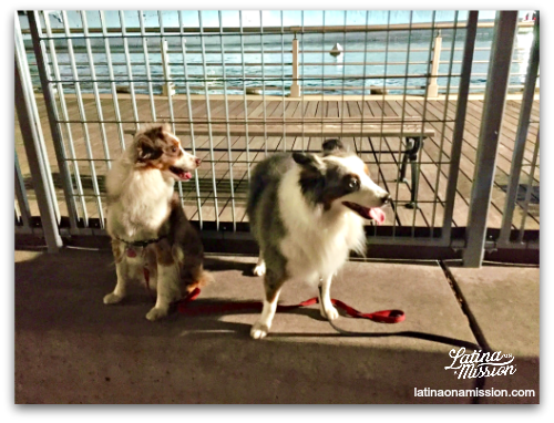 Toy Aussies at NYC dog park on Manhattan pier.